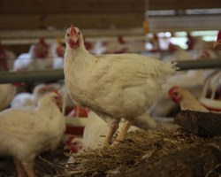 Indoor-hw-broilers.jpg